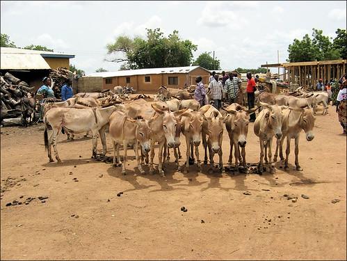 Bolga Market Donkeys