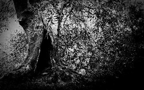 Olive tree cave