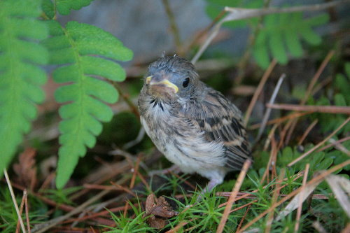 Field Sparrow chick