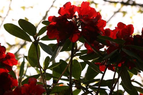 Red Rhodos