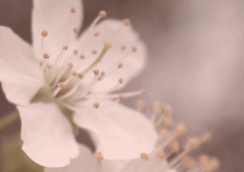 Plum Blossom