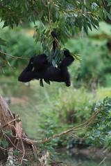 Siamang im Zooparc de Trégomeur