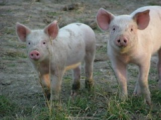 Piglets by A. Sparrow, on Flickr