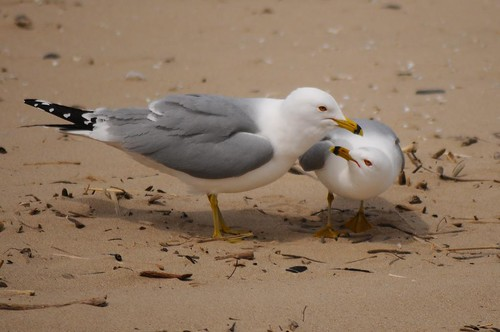 Ring-billed Gull 81