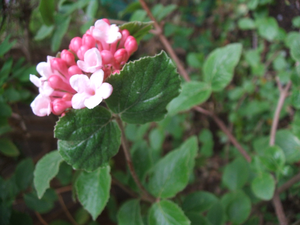 Unknown pink-blooming fragrant shrub