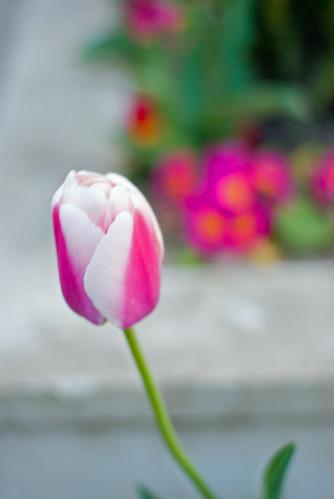 istanbul tulip festival, istanbul, pentax k10d