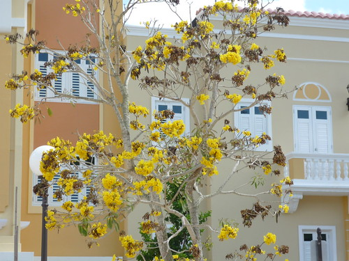 A yellow tree in Puerto Rico
