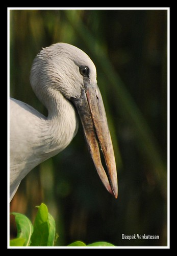 The Asian Open billed Stork