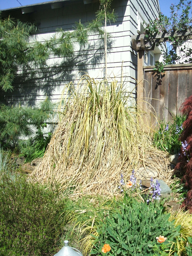 Ugh, Pampas grass hates winter