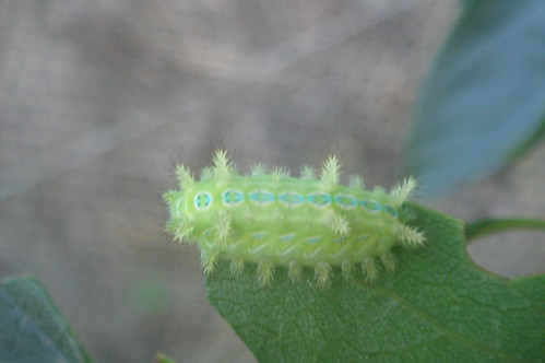 飛蛾的幼蟲1