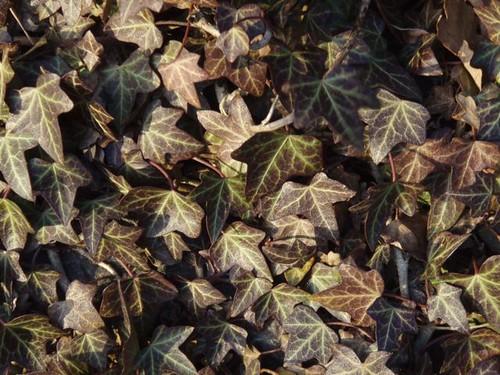 sunkissed ivy.....jpg