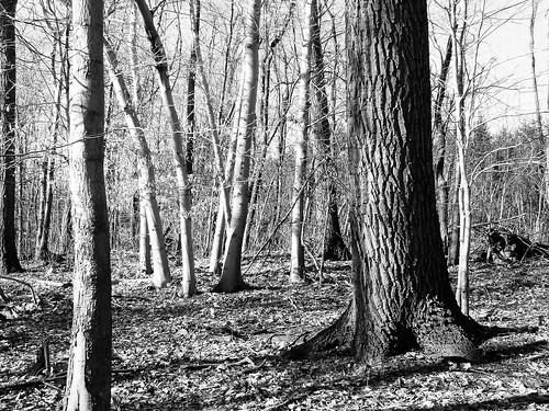 rock oak and beeches b&w