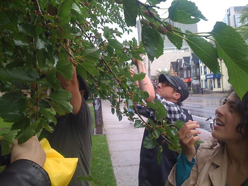 eating mulberries off the tree