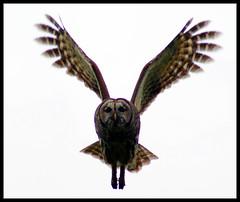 Barred owl in flight by Curtis Ellis