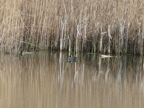 Garganey (record shot)
