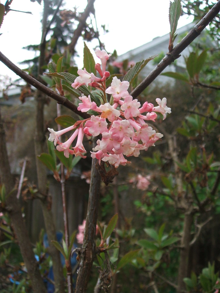 Viburnum x bodnantense 'Dawn' in mid-April
