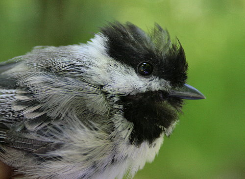 Moulting female Black-capped Chickadee