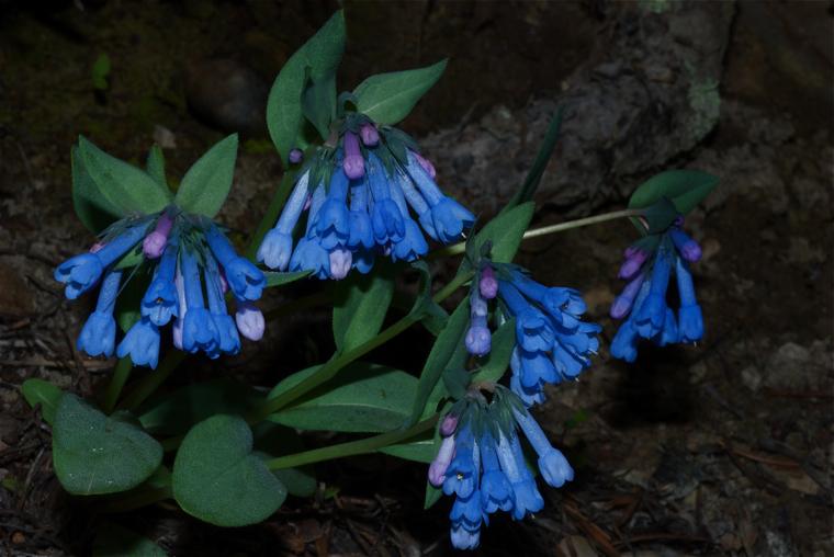 Long-flower Bluebells