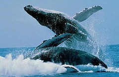 Humpback whale by flickkerphotos, on Flickr