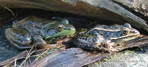 Green and Leopard Frogs