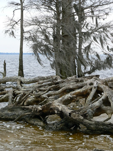 Newbold White House Recreation Trail - Old Roots and a Standing Cypress Tree