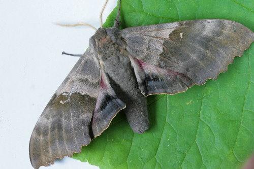 7828 - Pachysphinx modesta - Modest Sphinx