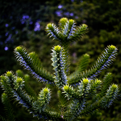 Monkey Puzzle by ronet