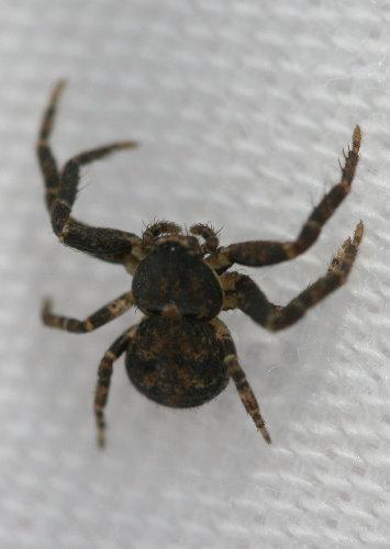 Crab spider?