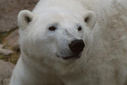 Eisbärin Venus im Zoo Ranua