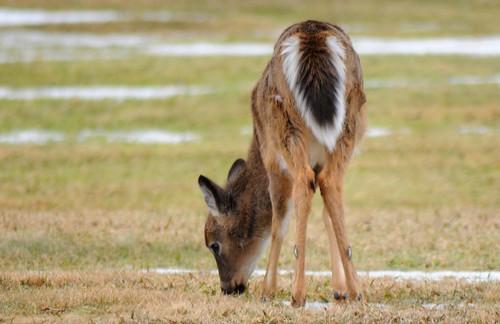 White-tailed Deer - butt