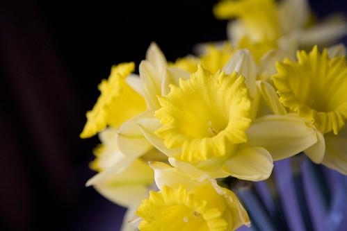 Daffodils 032409