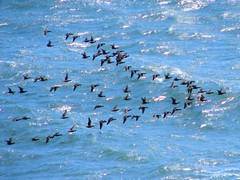 Geese flying in formation