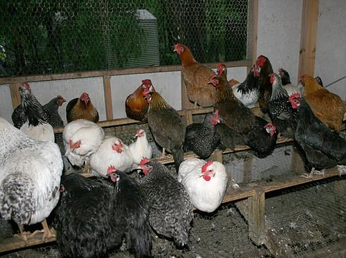 Palmarosa-Poultry