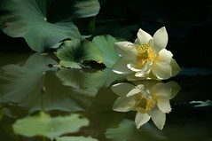 Lotus by Lotus Lover on Flickr