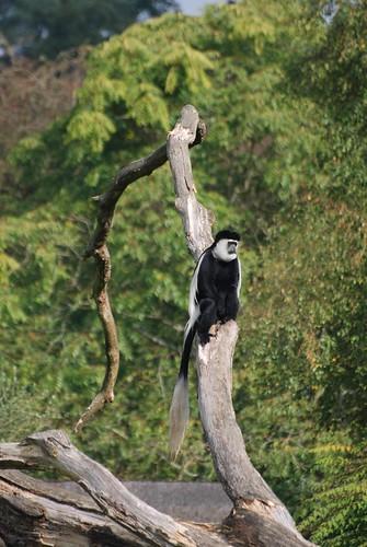 Mantelaffe im Parc Zoologique de La Bourbansais