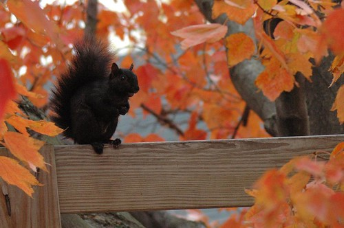 Black Squirrel by Tom LeBlanc