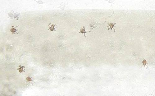 Baby Ticks (Cropped)