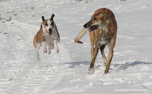 Katatjuta's Greyhounds & Joey of CR