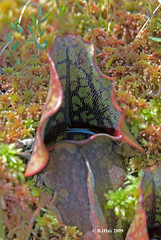 Pitcher Plant at Alfred Bog