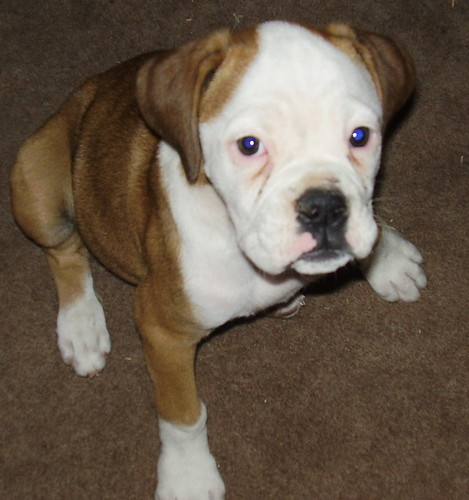 Daisy the day we brought her home as a foster pup.  5/16/10