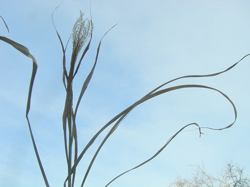 Miscanthus (?) flower and sky