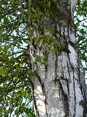 Merchant's Millpond State Park - Mistletoe Emerging Out of Tree Bark