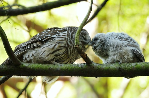 Barred owl parent and fledgling by Minette Layne