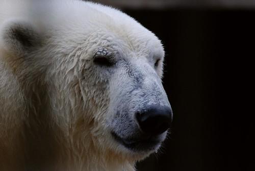 Eisbär Nord im Zoo Tallinn