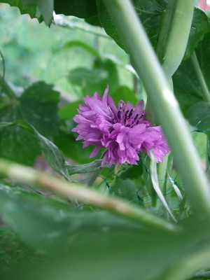 Cornflower pushing up through the dwarf peas.