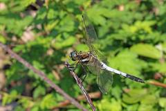 新治市民の森のシオカラトンボ(Dragonfly, Niiharu Community Woods, Yokohama, Kanagawa, Japan, 2011)
