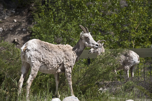 Ewes (Female Bighorn Sheep) grazing near Radium Hot Springs