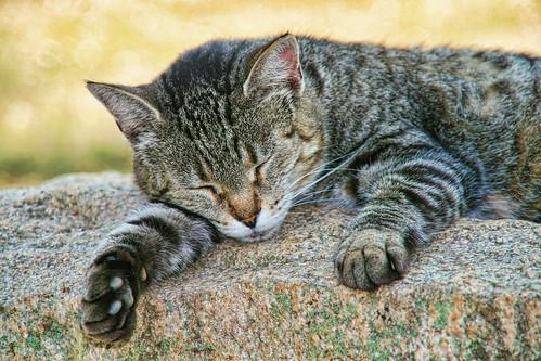 Snoozy Cat