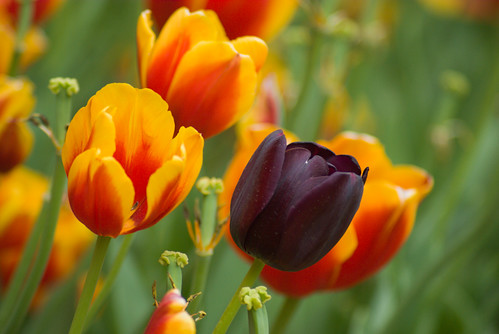 black tulip and yellow-red tulips, istanbul tulip festival, istanbul lale festivali, istanbul, pentax k10d
