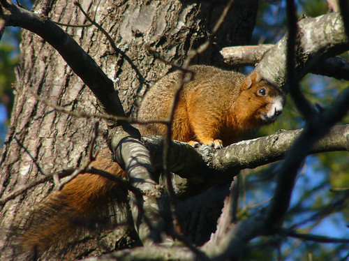 Eastern Fox Squirrel by LucyCat